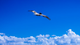 Flying Pelican in the Clouds