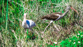 pair of Ibis Birds