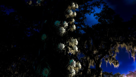 Night Blooming Cereus Wallpaper