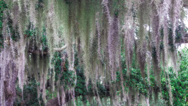 Spanish Moss Desktop Background
