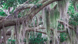 Spanish Moss Free Wallpaper