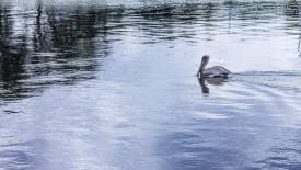 Swimming Pelican Desktop Background