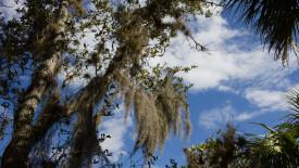 Air Plants of the tropics – Spanish Moss