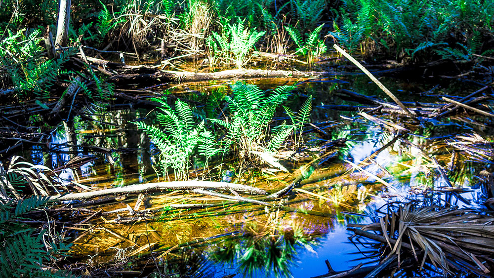 Ferns in a swamp